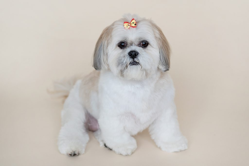 shih tzu type small dog enjoying a pet photoshoot by Kelly