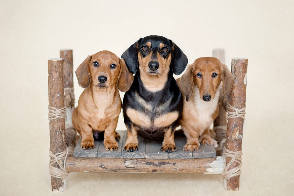 three dachshunds saw on a wooden raft staring into Kelly's studio camera