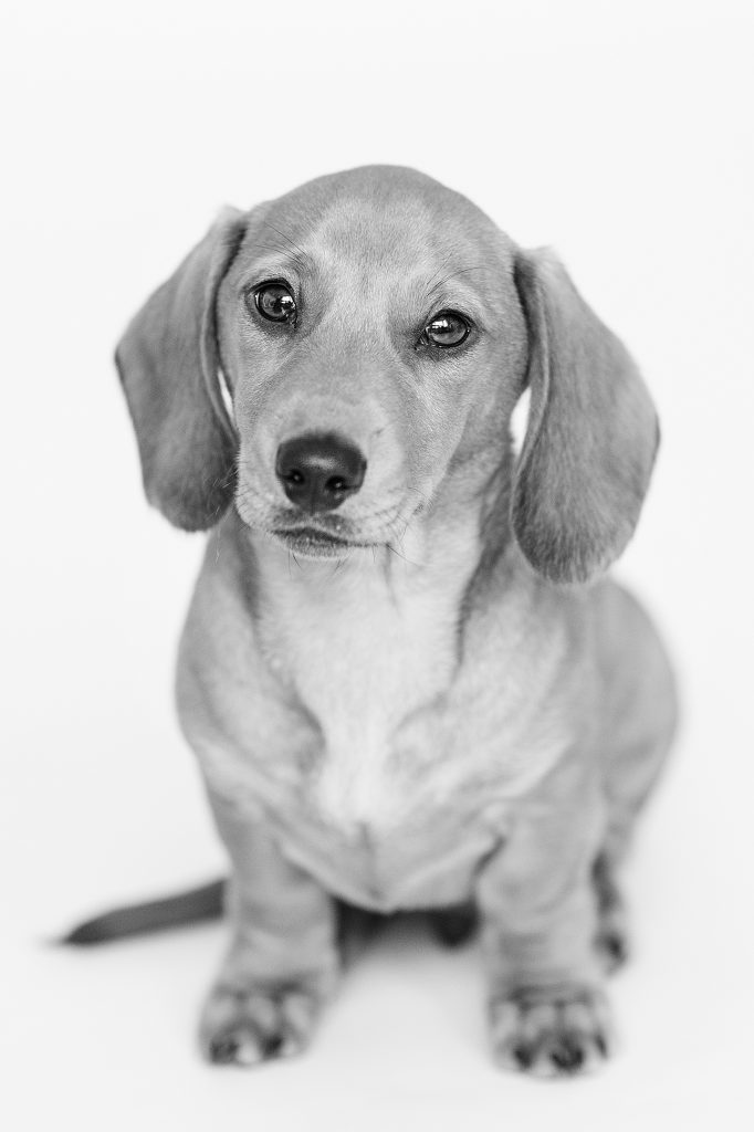 black and white dog with long ears looking at camera