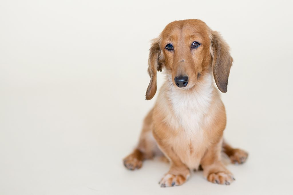 gorgeous dachshund staring into the camera