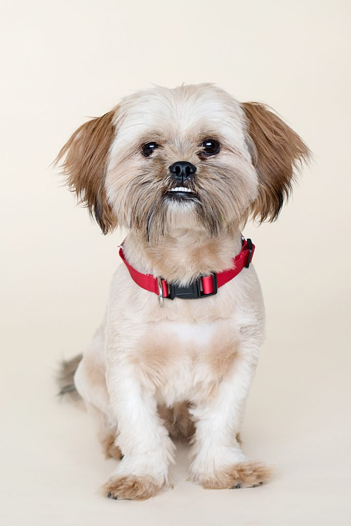 little dog with a red collar on a plain background