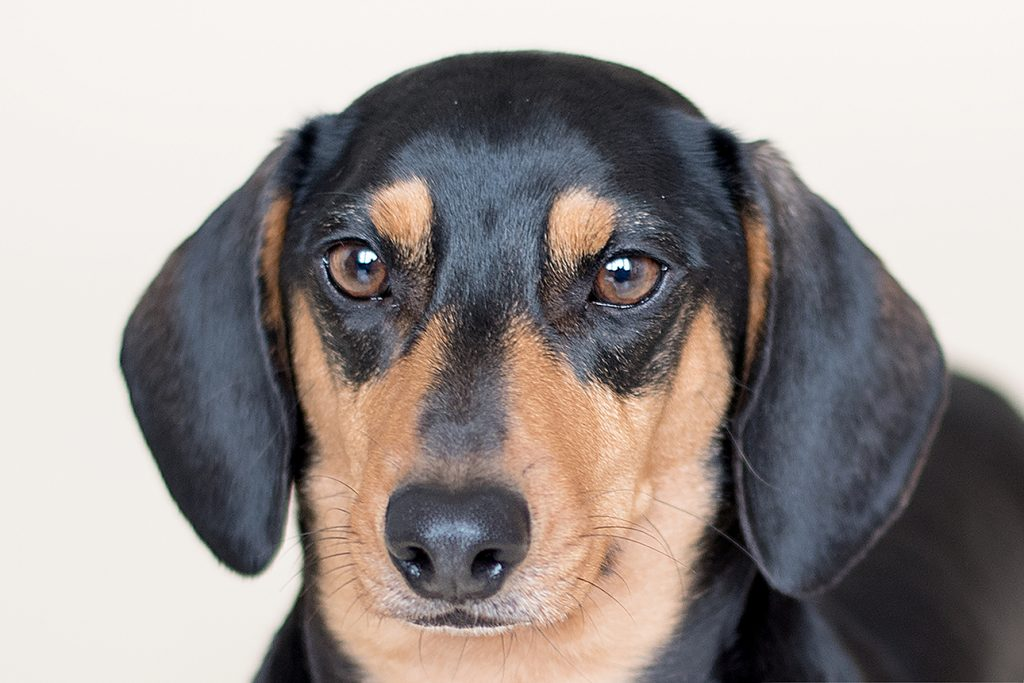close of little dachshund dogs looking directly at the camera