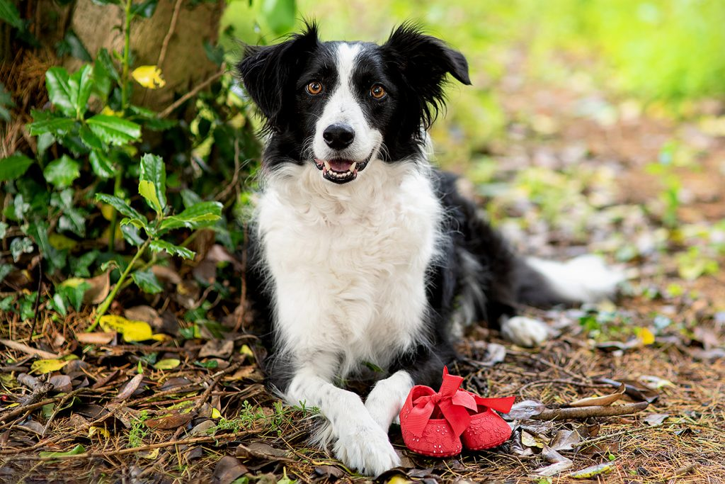 black and white collie with red baby shoes facing the camera lens