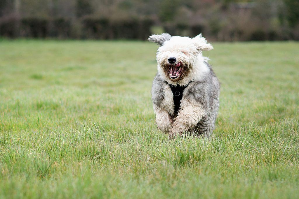 Dulux style shaggy dog running through a field