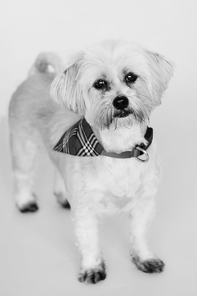 little fluffy dog with a tartan collar on looking directly at the camera