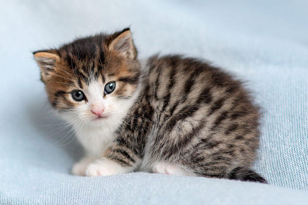 tiny little 8 week old kitten on blue background